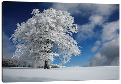 White Windbuche In Black Forest Canvas Art Print