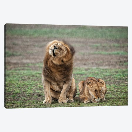 Shake Your Mane Canvas Print #OXM4556} by Massimo Felici Art Print