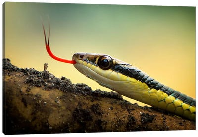 Dendrelaphis Pictus Canvas Art Print