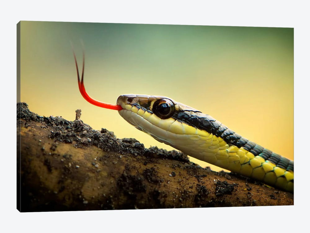 Dendrelaphis Pictus by Rooswandy Juniawan 1-piece Canvas Wall Art