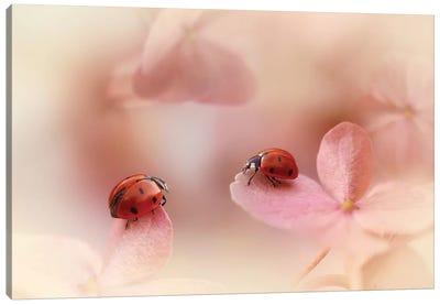 Ladybugs On Pink Hydrangea. Canvas Art Print