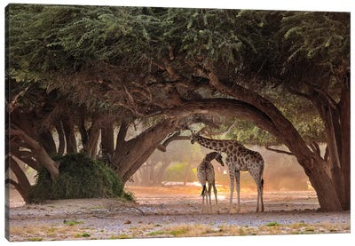 Giraffe - Namibia Canvas Art Print
