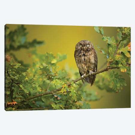 Eurasian Scops Owl Canvas Print #OXM4741} by Milan Zygmunt Canvas Print