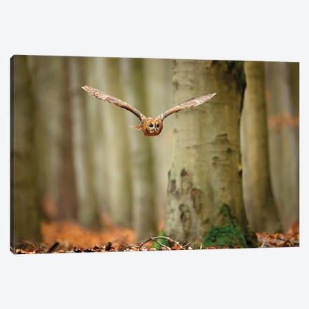 Tawny Owl Canvas Print #OXM4742} by Milan Zygmunt Canvas Print