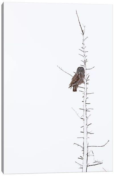 The Grey Hunter On White Canvas Art Print