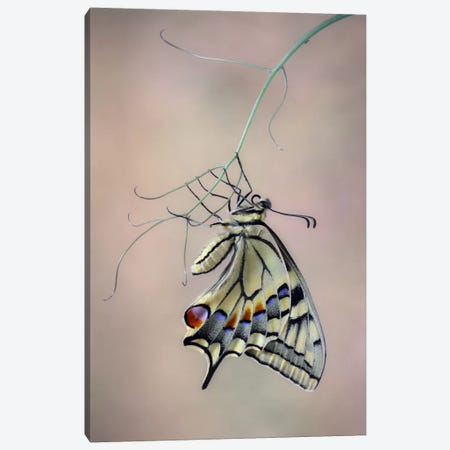 Papallona Rei Canvas Print #OXM479} by Jimmy Hoffman Art Print