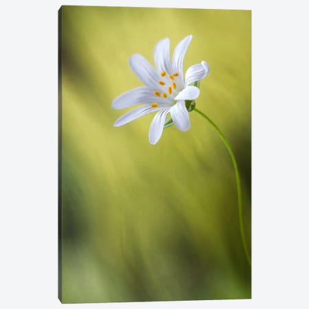 Stitchwort Canvas Print #OXM480} by Mandy Disher Canvas Artwork