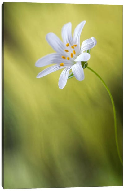 Stitchwort Canvas Art Print