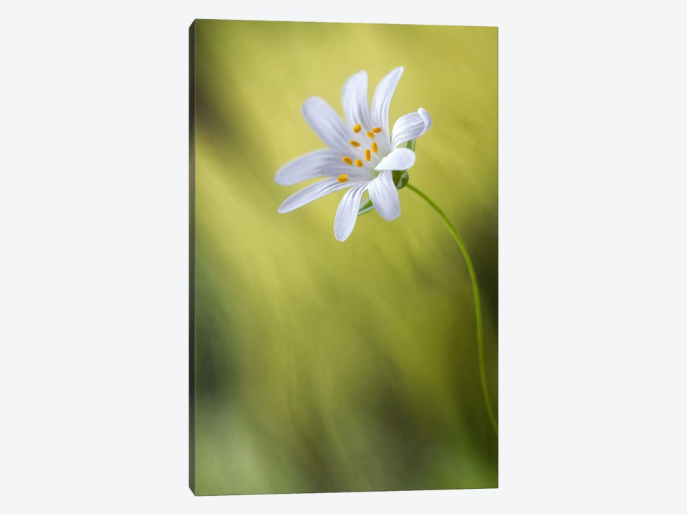 Stitchwort by Mandy Disher 1-piece Canvas Artwork