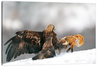 Golden Eagle And Red Fox Canvas Art Print