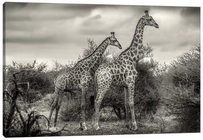Two Giraffes Canvas Art Print