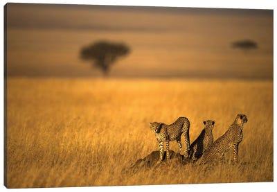 Landsape Of Cheetah Canvas Art Print