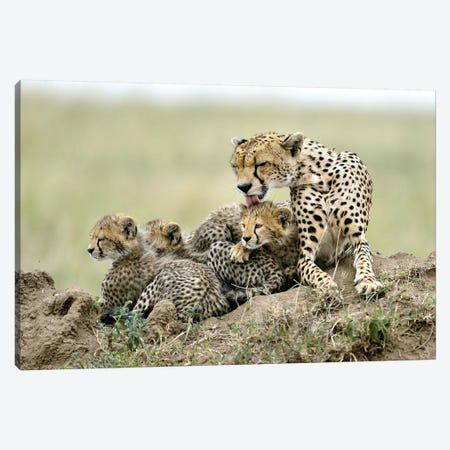 Cheetahs Canvas Print #OXM5138} by Giuseppe Damico Canvas Print