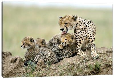 Cheetahs Canvas Art Print