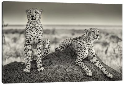 Two Cheetahs Watching Out Canvas Art Print