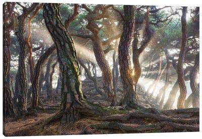 Sacred Pine Trees Canvas Art Print