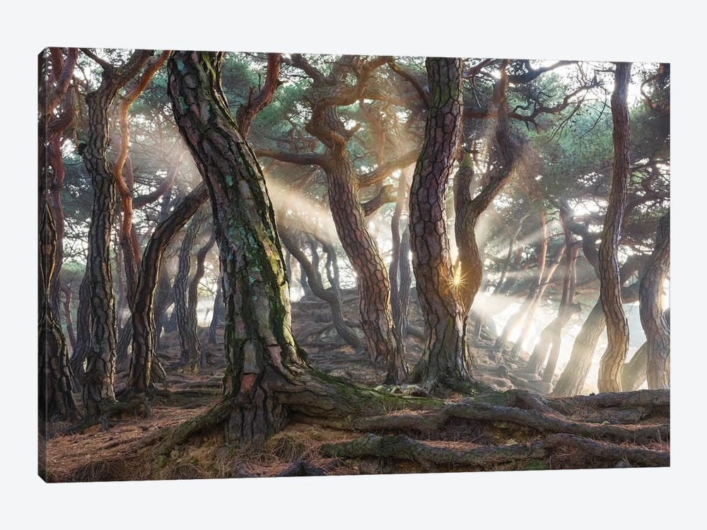 Sacred Pine Trees 1-piece Canvas Print