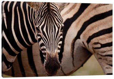 Burchells Zebra Canvas Art Print