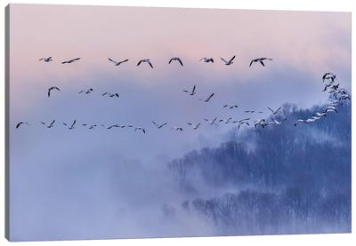 Snow Geese Canvas Print #OXM522