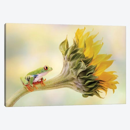Red Eyed Tree Frog On A Sunflower Canvas Print #OXM5246} by Linda D Lester Canvas Artwork