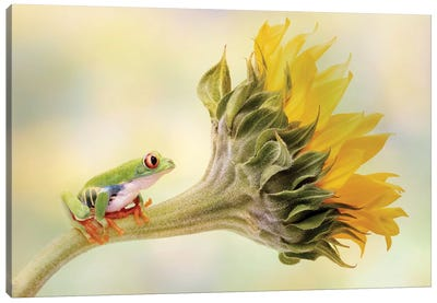 Red Eyed Tree Frog On A Sunflower Canvas Art Print