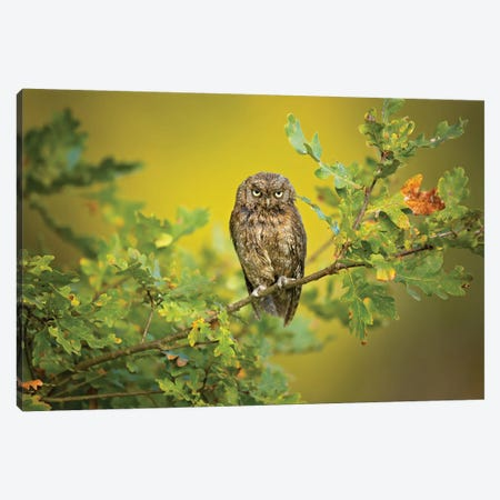 Eurasian Scops Owl Canvas Print #OXM5294} by Milan Zygmunt Canvas Art Print