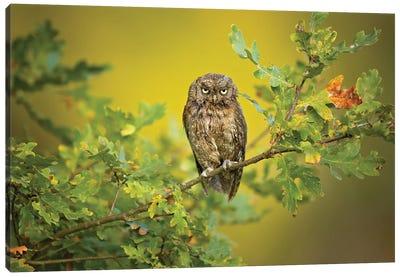 Eurasian Scops Owl Canvas Art Print