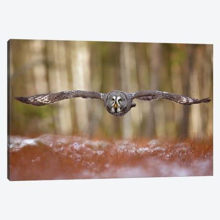 Great Grey Owl Canvas Print #OXM5296} by Milan Zygmunt Canvas Print
