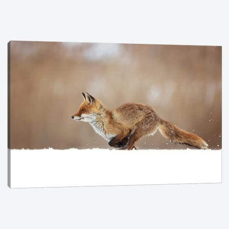 Red Fox Canvas Print #OXM5297} by Milan Zygmunt Canvas Print