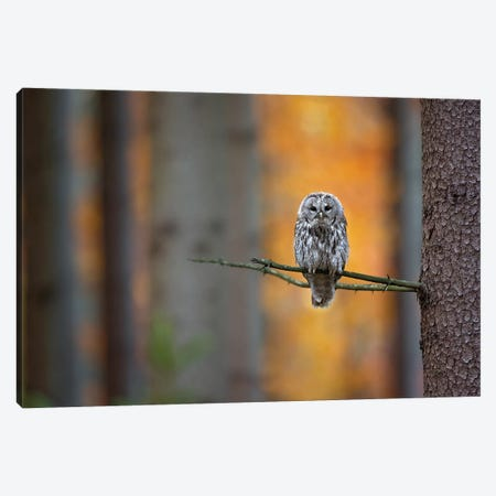 Tawny Owl Canvas Print #OXM5298} by Milan Zygmunt Canvas Artwork