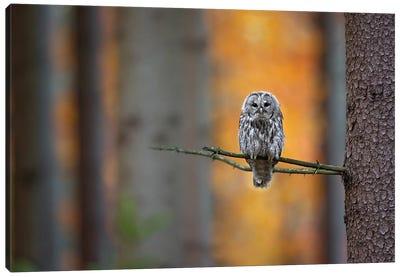 Tawny Owl Canvas Art Print
