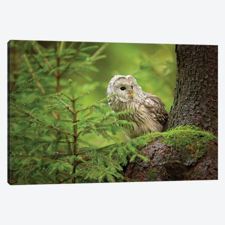 Ural Owl Canvas Print #OXM5299} by Milan Zygmunt Canvas Wall Art