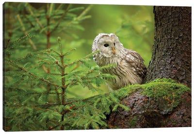 Ural Owl Canvas Art Print