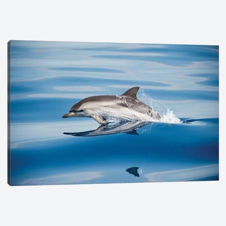 Striped Dolphin Canvas Print #OXM5301} by Mirko Ugo Canvas Artwork