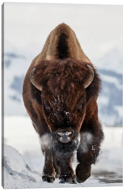 Bison Incoming Canvas Art Print