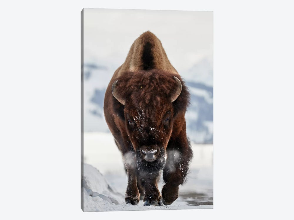 Bison Incoming by Peter Hudson 1-piece Canvas Artwork