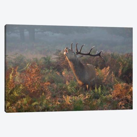 Bellowing Stag Deer Canvas Print #OXM5333} by Prashant Meswani Canvas Print