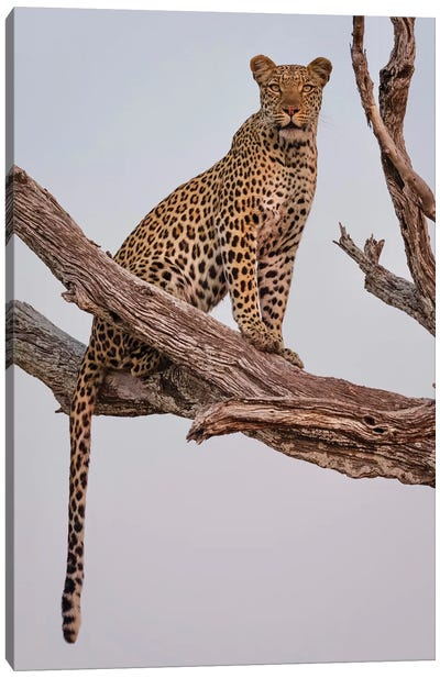 Leopard Portrait Canvas Art Print