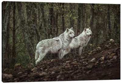 Meeting With White Wolves Canvas Art Print