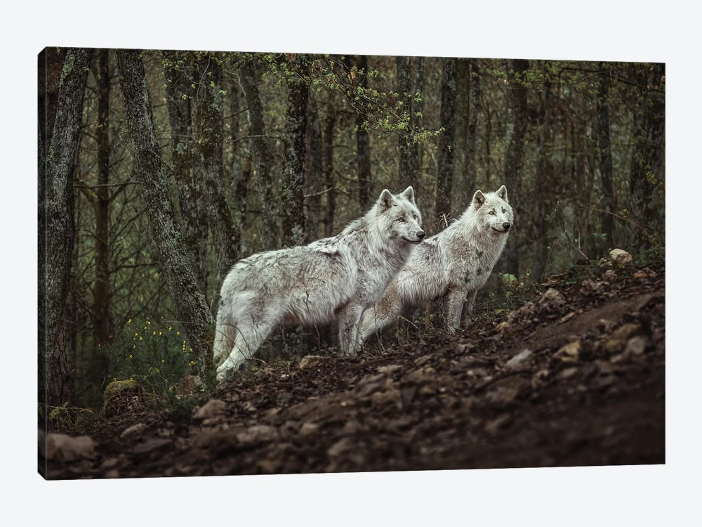 Meeting With White Wolves by Ronan Siri 1-piece Canvas Art Print