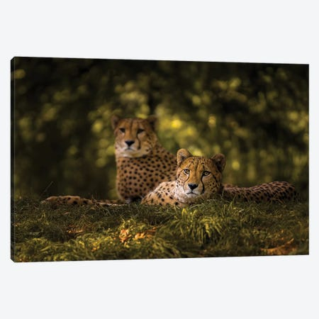 Cheetah Couple Canvas Print #OXM5370} by Sake Van Pelt Canvas Print