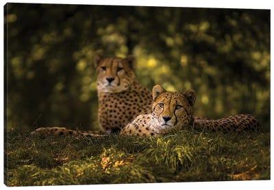 Cheetah Couple Canvas Art Print