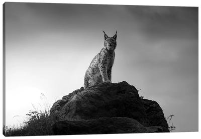 Lynx Drama. Canvas Art Print