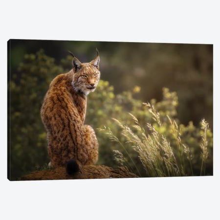 Lynx Fine Art. Canvas Print #OXM5393} by Sergio Saavedra Ruiz Canvas Art Print