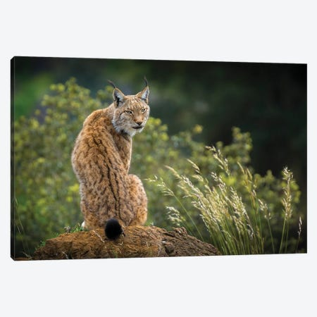 Wild Look. Canvas Print #OXM5398} by Sergio Saavedra Ruiz Art Print
