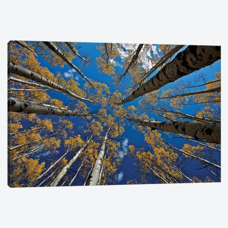 Aspen'S Fall Canvas Print #OXM5452} by verdon Canvas Wall Art