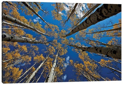 Aspen'S Fall Canvas Art Print