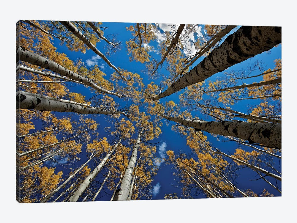 Aspen'S Fall by verdon 1-piece Canvas Art Print