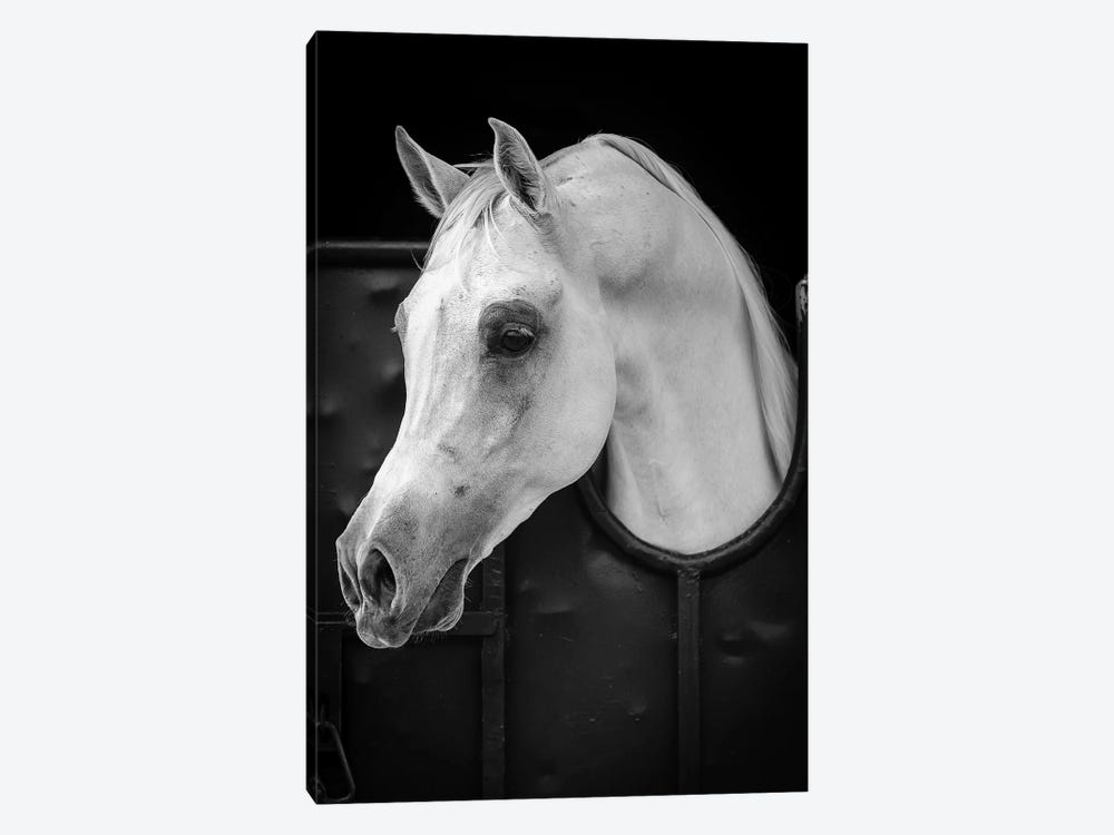 Arabian Horse 1-piece Canvas Print