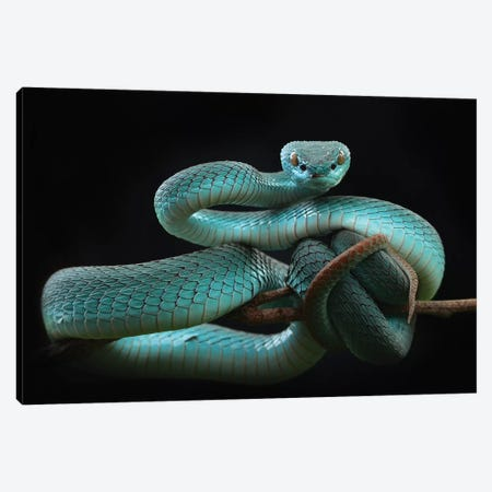Trimeresurus Insularis [Blue] Canvas Print #OXM5465} by Wel Nofri Canvas Artwork